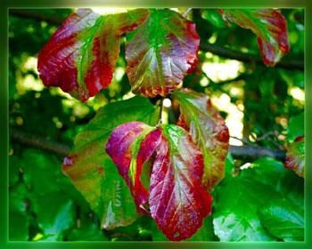 Parocja perska (żelazne drzewo)