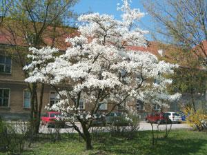 Drzewo do małego ogrodu